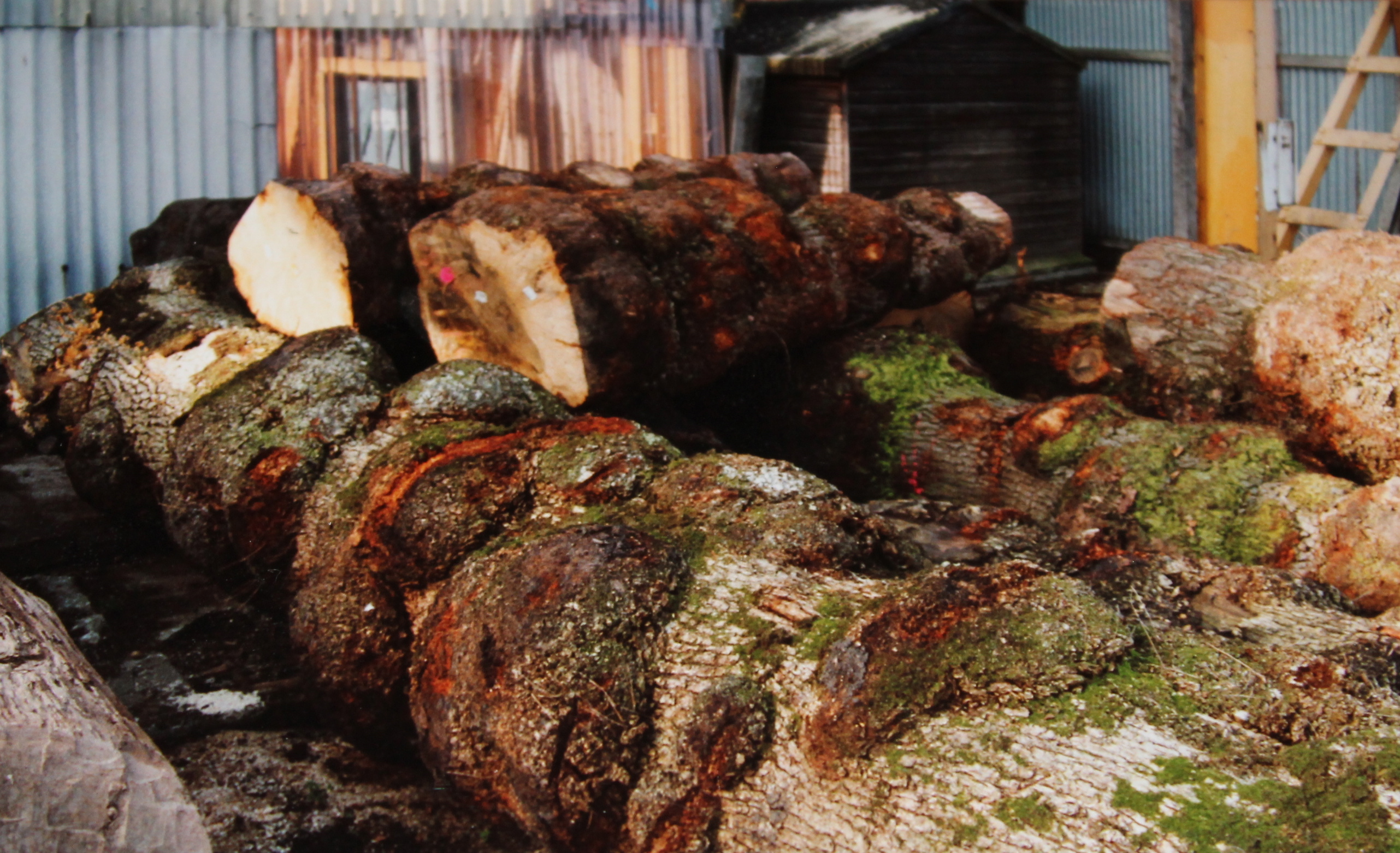 Oak Burr/ Burl/ Cluster logs